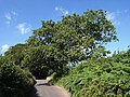 Oak tree on Priory Road - geograph.org.uk - 904690.jpg