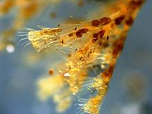 Obelia-Hydrozoa-at40x.jpg