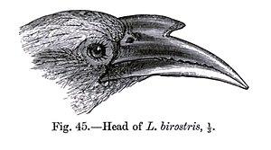 Ocyceros - Head of Indian grey hornbill, woodcut from The Fauna of British India, Including Ceylon and Burma