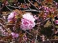 Odaiba - Blüte.jpg