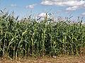 Odechow mazowieckie kukurydza (9).JPG