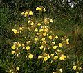 Oenothera glazioviana 01 ies.jpg