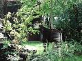 Okapia johnstoni (DSC02966).JPG