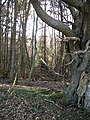 Old beech tree, Longton Wood - geograph.org.uk - 149400.jpg