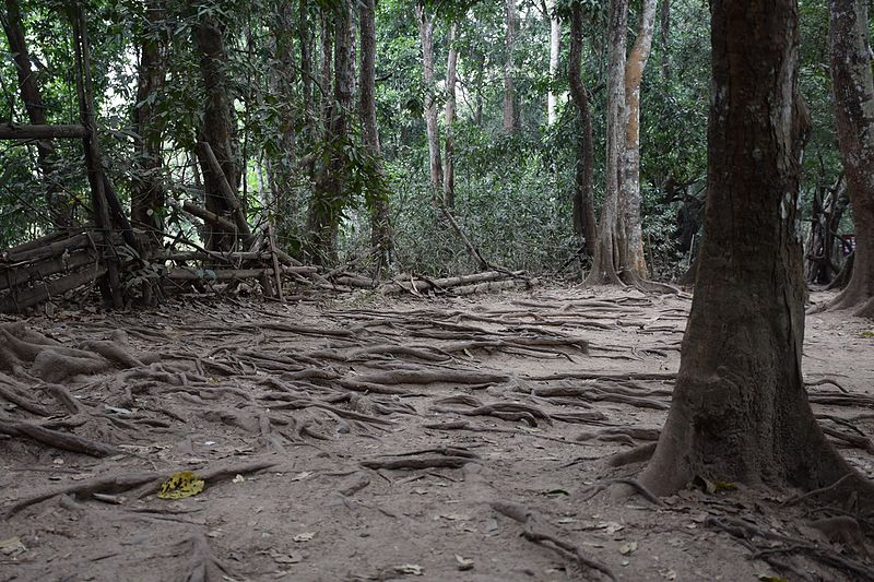 File:Old tree roots at Kuravadweep.jpg