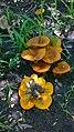 Omphalotus olearius (DC.) Singer 699870.jpg