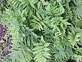 Onoclea sensibilis KS-03.jpg