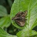 Open wing of Halpe porus (Bi-spot Ace) butterfly.jpg