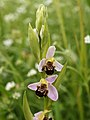 Ophrys apifera (pale form).jpg