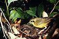 Oporornis formosus FWS.jpg