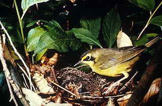 Kentucky warbler species of bird