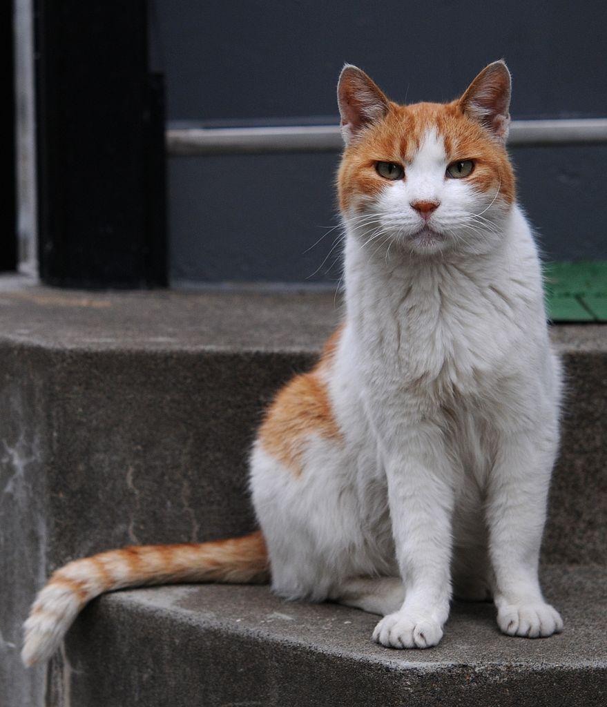 Tabby Cat White Chin