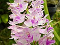 Orchids in Thailand 2013 2716.jpg
