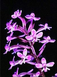 Orchis brancifortii.jpg