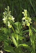 Orchis pallens-002.jpg