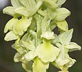 Orchis pallens flowers.jpg