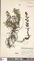 Orobanche alba herbarium (04).jpg