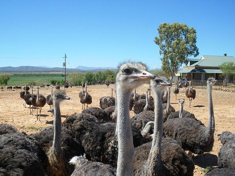 Fichier:Ostriches in Oudtshoorn.jpg