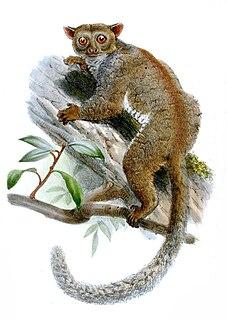 Northern needle-clawed bushbaby Species of primate