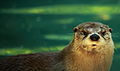 Otter-water-wildlife 2.jpg