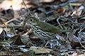 Ovenbird Hooks Wood High Island TX 2018-04-11 09-10-02 (41767055922).jpg
