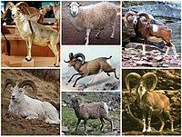 Ovis Diversity.jpg