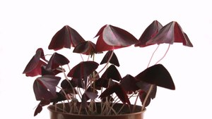 Файл:Oxalis Triangularis Photonasty Timelapse.ogv