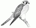 PSM V51 D619 Sparrow hawk.png