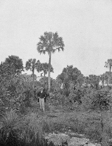 PSM V54 D040 Cabbage palmetto in florida.jpg