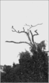 PSM V77 D374 A group of carrion crows.png