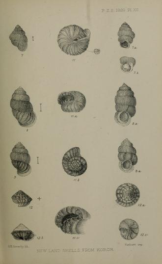 Aaadonta - Aaadonta fuscozonata shell (figure 12)