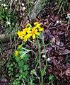 Packera paupercula pseudotomentosa.jpg