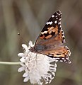 Painted Lady Cynthia cardui 2 (3822025131).jpg