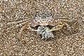 Painted ghost crab (Ocypode gaudichaudii) eating juvenile.jpg