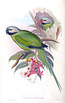 Drawing of two green parrots with grey heads, one with a blue beak and one with red