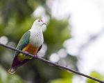 Palau Fruit Dove Ptilinopus pelewensis photographed on Babeldaob Palau in 2013 by Devon Pike.jpg