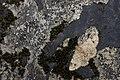 Panilla constipunctata (40937254521).jpg