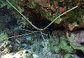 Panulirus versicolor Réunion.JPG
