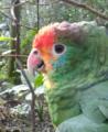Papagaio chauá.png