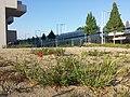 Papaver rhoeas + Hordeum murinum subsp. murinum sl1.jpg