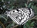 Paper Kite butterfly in Yeliu.jpg