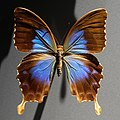 Papilio montrouzieri MNHN Minéralogie n2.jpg