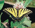 Papilio multicaudata.jpg