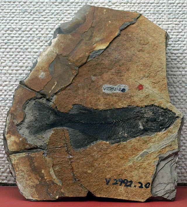 ParalycopteraWui-PaleozoologicalMuseumOfChina-May23-08.jpg