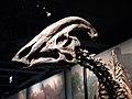 Parasaurolophus skull FMNH.jpg