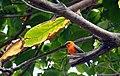 Parc national de La Réunion - Cardinal - Foudia rouge-.jpg