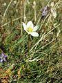 Parnassia palustris sl1.jpg