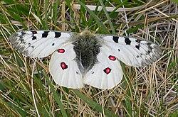 Parnassius phoebus2.jpg