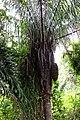 Parque Natural Metropolitano, Panamá-2046 - Flickr - Ragnhild & Neil Crawford.jpg
