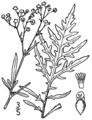 Parthenium hysterophorus.png